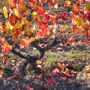 Vieux Gamay automne 2017