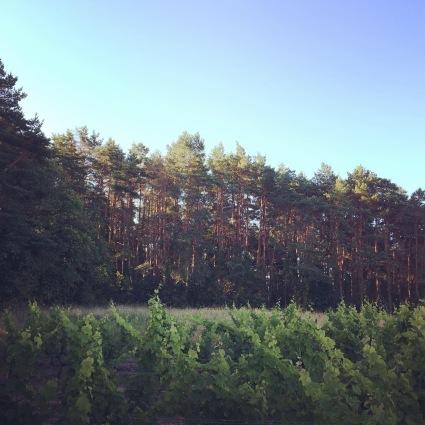 Une parcelle abritée par la forêt de pin, été 2020